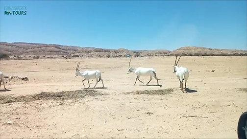 Hai-Bar Yotvata Wildlife Reserve in the desert