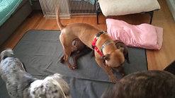 Dogs playing at Pawsense