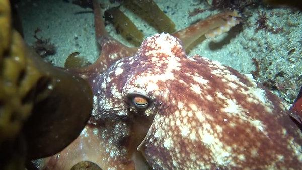 Atlantic Curled Octopus
