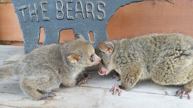 Galagos Bushbaby Babies
