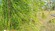 Longleaf Pine Identification