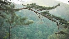 유한킴벌리 KKG온라인 영상_울진금강소나무숲