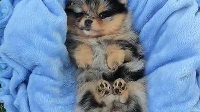 Pomeranian von den kleinen Samtschnuten
