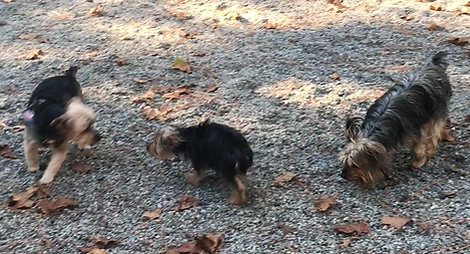 Yorkies playing during doggie daycare at Pinehurst Animal Hospital in Southern Pines NC