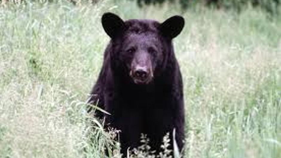 Bears of Arkansas