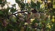 Silk Almond (Process)