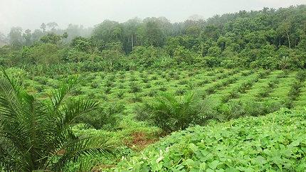 Carotino - Environmentally Sustainable Palm Oil