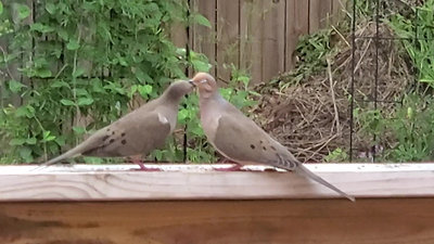 Mourning Doves Allopreening During Courtship