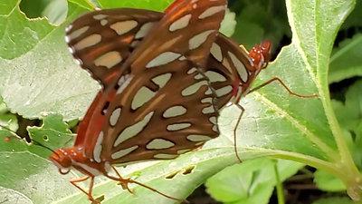 Gulf Fritillary Butterflies Mating on Native Passionflower Vine (Passiflor Incarnata)