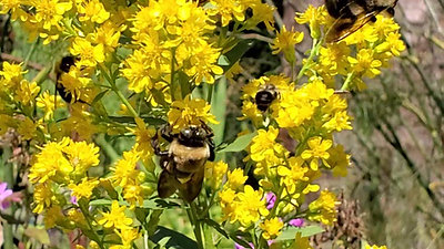 Showy Goldenrod (Solidago Speciosa) Covered in Pollinating Native Bees