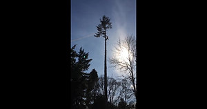 Tree Surgery Inverness. Removal of Douglas Fir