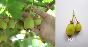 Thinning Kiwifruit Explained