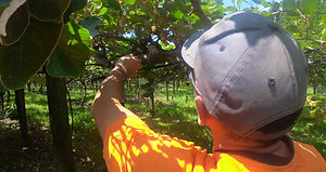 Kiwifruit Male Pruning Video