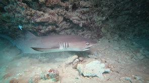 D. A white tip reef shark_1