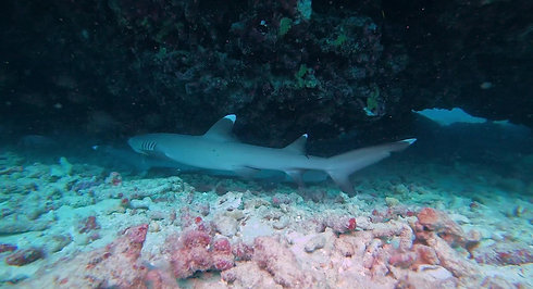 Two white tip reef sharks 2