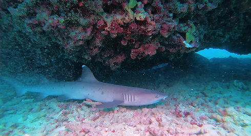 Two white tip reef sharks