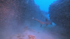D. A white tip reef shark and reefs 2