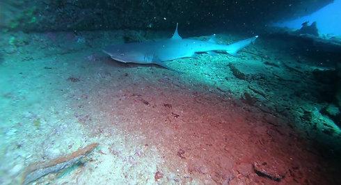 shark 4