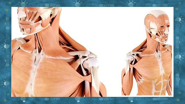 Functional Anatomy and Biomechanics