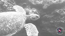 B&W Turtle