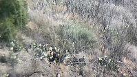 Arizona Javelina