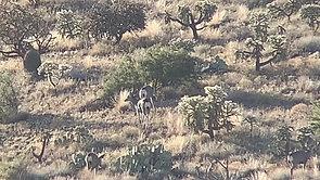 Arizona Desert Mule Deer