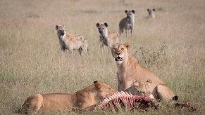 Lion versus Hyena in Tanzania's Serengeti