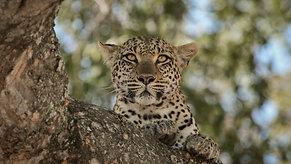 Leopard catches Monkey in Tree