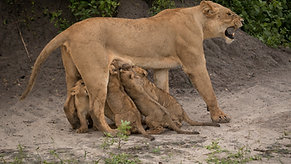 Lion Cubs in Botswana's Okavango Delta