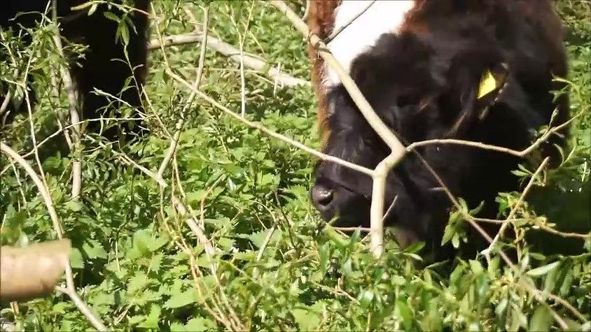 Kvæg i Terapihave 2020