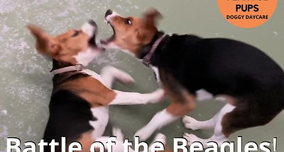 Battle of the Beagles!