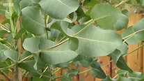 Hardy Eucalyptus on BBC Garden Rescue