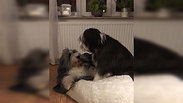 Bearded Collie in Aktion, NRW