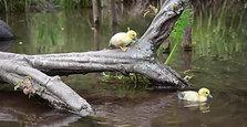 Daring Ducklings!