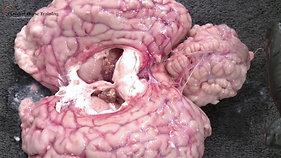 The Equine Brain