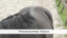 Thoracolumbar fascia
