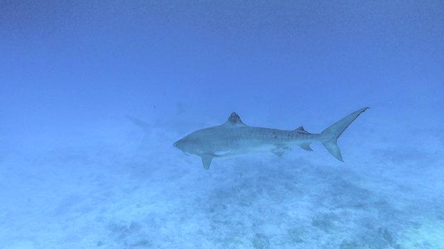 Tiger Sharks of Honokohau Harbor