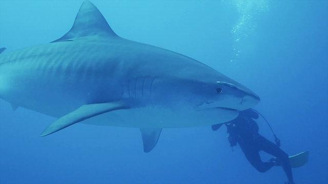 Tiger Shark - Close Pass Between Videographers