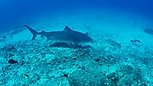 Tiger Shark (Laverne - Resident Tiger Honokohau Harbor)