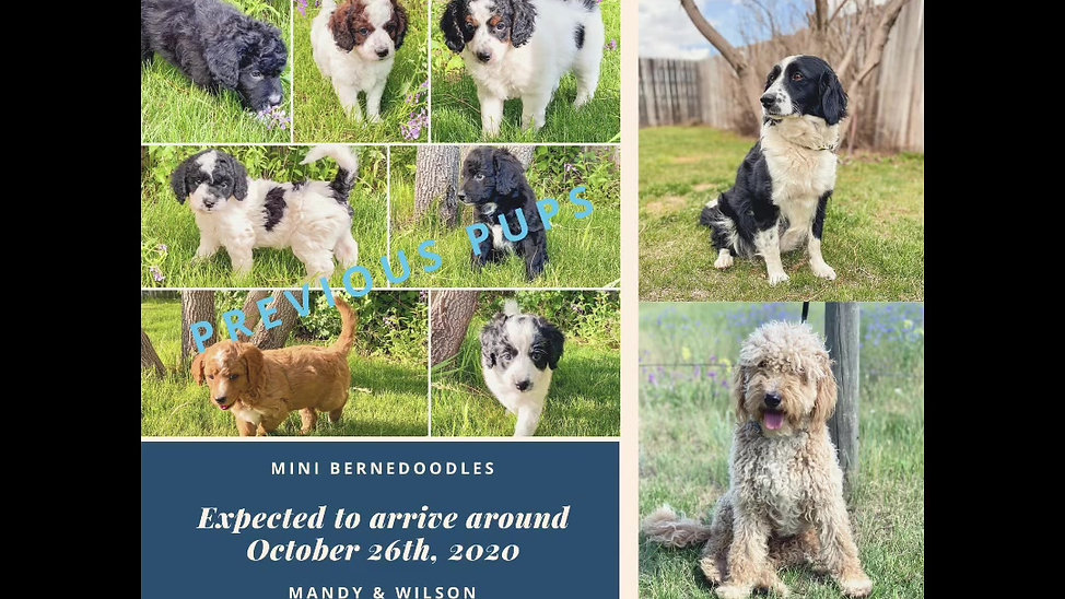 Mandy/Wilson pups expected