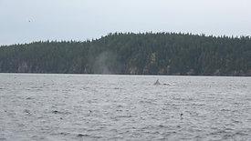 Watching Humpbacks