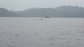 Watching orcas