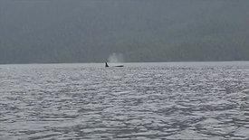 Kayaing Johnstone strait