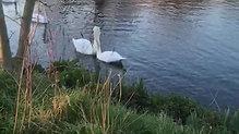 Swans in Eton