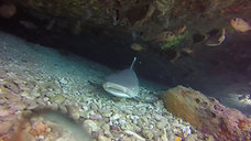 White Tip Baby Shark