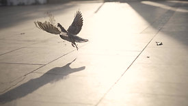 A pigeon taking off