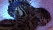 chatons de Whitney