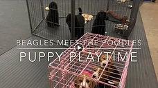Beagles Meet the Poodles
