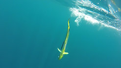 Underwater and boat view of catching another beautiful Dorado