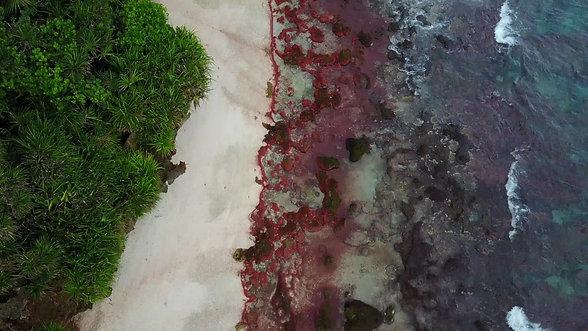 Baby Crabs Return to Ethel Beach, Christmas Island